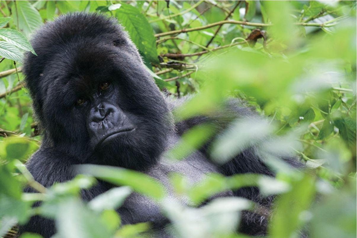 瀕危動物山地大猩猩為盧安達帶來觀光財